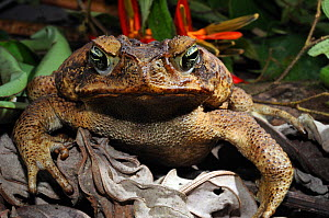 Cane toad (Bufo marinus) head portrait, French Guiana, South America,  -  Daniel Heuclin
