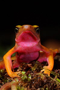 Cayenne stubfoot toad (Atelopus flavescens) Head portrait showing pink colouration of throat, North French Guiana, South America - Daniel Heuclin