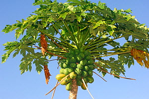 Papaya fruit growing on tree (Carica papaya) Central America.  -  Daniel Heuclin