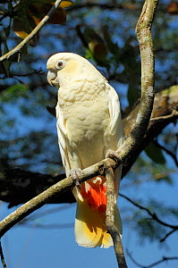 Philippine cockatoo (Cacatua haematuropygia) perched on tree branch, Philippines. Endemic and endangered. Captive.  -  Daniel Heuclin