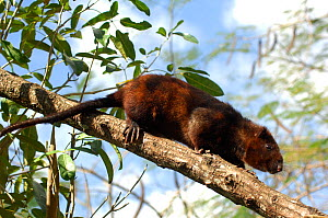 Southern giant slender-tailed cloud rat (Phloeomys cumingi) in tree, from Provinces of Quezon, Laguna, Batangas, Sursogo, Philippines. Captive, Vulnerable species - Daniel Heuclin