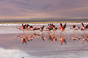 Andean flamingos / Pariwana (Phoenicopterus andinus) taking off / flying over Lake Colorada, with reflections. National Andean Fauna Reserve, Eduardo Abaroa, Bolivia, South America - Daniel Heuclin