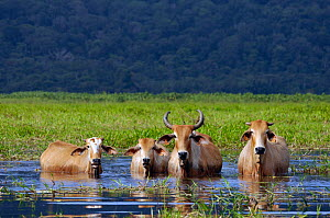 Zebu cattle (Bos indicus) small herd wading through the Swamp of Kaw, French Guiana, South America  -  Daniel Heuclin