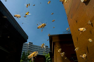 Honey bee (Apis mellifera) swarm in flight near buildings, Paris, France  -  Laurent Geslin