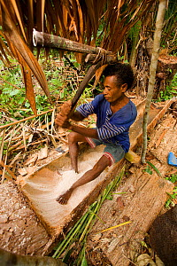A man processing 'Sago' the primary staple food on Waigeo Island. First the pulp of the Sago Palm tree is gathered. The starch is then extracted by water filtered through a sieve of coconut palm leaf... - Tim Laman
