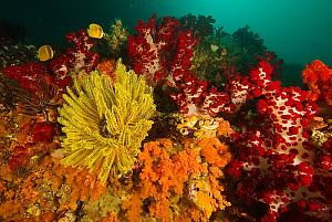 A rich coral reef covered in soft corals, crinoids, and tunicates, Raja Ampat Islands, West Papua,  Indonesia, April 2007  -  Tim Laman