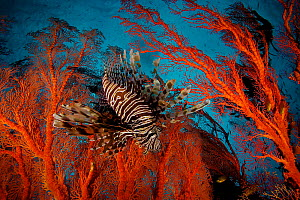 Lionfish (Pterois) hovering in a Sea Fan in a view looking toward the surface of the water. Misool Island vicinity. Near smaller island of Fiabacet. West Papua, Indonesia, April 2007 - Tim Laman