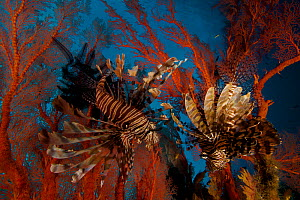 Pair of Lionfish (Pterois) hovering in a Sea Fan in a view looking toward the surface of the water. Misool Island vicinity. Near smaller island of Fiabacet. West Papua, Indonesia, April 2007 - Tim Laman