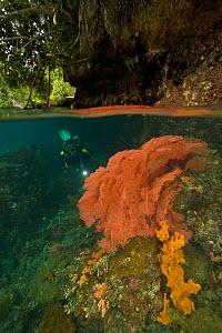 Split level view of a  diver inspects a soft coral growing on a fallen tree trunk, in a passage between Waigeo and Gam Islands. This unique area is protected from waves but experiences high currents w...  -  Tim Laman
