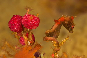 An unnamed species of Pygmy Seahorse (Hippocampus sp.) Vicinity of Gam Island, West Papua, Indonesia, May 2007 - Tim Laman