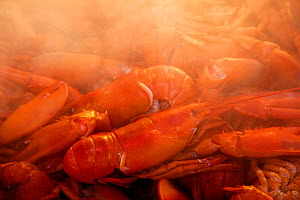 Steam over boiled Lobsters (Homarus americanus). Gilkey Harbour, Islesboro, Maine, USA. - Billy Black