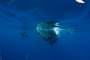 Bryde's whale (Balaenoptera brydei / edeni) swimming past a baitball of Sardines (Clupeidae)California sea lion (Tetreapturus audax) and Striped marlin (Zalophus californianus) in background. Off Baja... - Doug Perrine