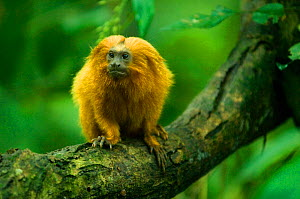Golden lion tamarin (Leontopithecus rosalia) wild, Poco das Antas Reserve, Atlantic Forest, Southeast Brazil, Critically endangered, November. Did you know? More than 400 Golden lion tamarins have bee...  -  Kevin Schafer