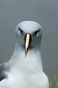 Grey-headed albatross (Thalassarche chrysostoma) portrait, South Georgia Island, Vulnerable species, December - Kevin Schafer