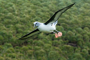 Grey-headed albatross (Thalassarche chrysostoma) in flight, preparing to land, South Georgia Island, Vulnerable species, December - Kevin Schafer