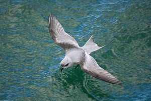 Fork-tailed storm-petrel (Oceanodroma furcata) flying low over water, Gulf of Alaska, Alaska, USA, September  -  Kevin Schafer