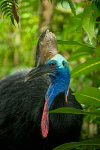 Southern / Australian / Double-wattled cassowary (Casuarius casuarius) male, Atherton Tablelands, Queensland, Australia, Wild, Vulnerable species  -  Kevin Schafer