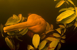 Amazon river dolphins / Boto (Inia geoffrensis) underwater in Flooded Forest, Rio Negro, Amazonia, Brazil, July  -  Kevin Schafer