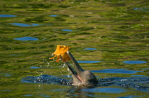 Amazon river dolphin / Boto (Inia geoffrensis) playing with floating leaf, Rio Negro, Amazonia, Brazil, July - Kevin Schafer