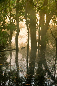 Flooded Forest, Rio Negro, Amazonia, Brazil, July 2008  -  Kevin Schafer