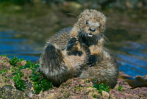 Marine otters (Lontra felina) fighting as prelude to mating, wild, Chiloe Island, Chile, Endangered species, March  -  Kevin Schafer