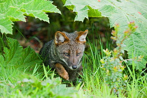 Darwin's fox (Pseudalopex fulvipes) wild, Chiloe Island, Chile, Critically endangered species, November  -  Kevin Schafer