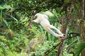 Silky sifaka (Propithecus candidus) leaping through tree canopy, Marojejy National Park, Madagascar, Endangered species  -  Kevin Schafer