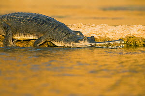 Indian gharial (Gavialis gangeticus) Chambal National Sanctuary, Madhya Pradesh, India,  Critically Endangered  -  Kevin Schafer