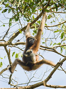 Western hoolock gibbon (Hoolock hoolock) female with young swinging through tree, Gibbon Wildlife Sanctuary, Assam, India, Endangered species  -  Kevin Schafer