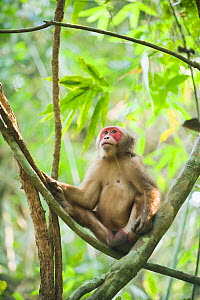 Stump-tailed macaque (Macaca arctoides) male sitting in tree, Gibbon Wildlife Sanctuary, Assam, India, Vulnerable species  -  Kevin Schafer