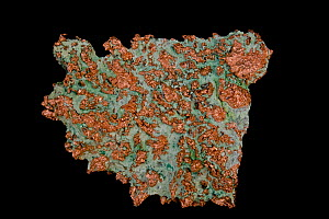 Copper (Cu) Native element. Found in Lake Superior, Michigan, USA  -  John Cancalosi