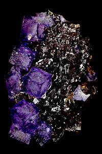 Fluorite (CaF2) (calcium fluoride) on Sphalerite (ZnS) (zinc sulfide)  Elmwood Mine - Smith County - Tennessee - USA - Fluorite is a source of fluorine-used in the manufacture of milk glass-as a flux...  -  John Cancalosi