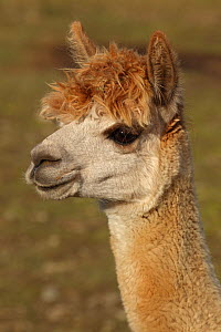 Alpaca (Lama pacos) head portrait, New York, USA - John Cancalosi
