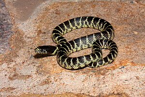 Desert Kingsnake (Lampropeltis getula splendida) coiled on ground, Arizona, USA  -  Barry Mansell