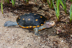 Ornate Diamondback Terrapin (Malaclemys terrapin macrospilota) female walking in sand, Dixie Co. North West Florida, USA  -  Barry Mansell