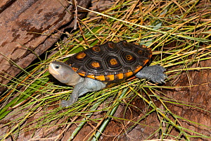 Ornate Deamondback Terrapin (Malaclemys terrapin macrospilota) portrait of male, Dixie Co. North West Florida, USA  -  Barry Mansell