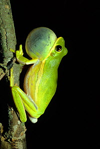 Squirrel Treefrog (Hyla squirella) calling at night, vocal sac inflated, North Florida, USA, August Not available for ringtone/wallpaper use.  -  Barry Mansell