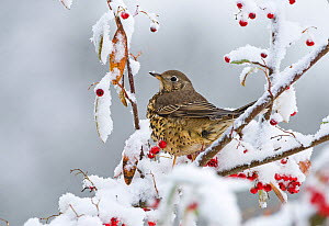Mistle thrush (Turdus viscivorus) feeding on berries in garden in snow. Norfolk, UK, December - David Tipling