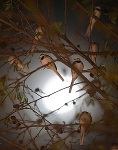 Pied wagtails (Motacilla alba yarrellii) silhouetted against the moon, roosting in tree in shopping centre. Kent, UK, December  -  David Tipling