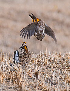 Two male Greater prairie chickens (Tympanuchus cupido) fighting on lekking ground in the Sandhills, Nebraska. USA, April  -  David Tipling