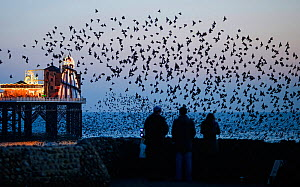 Three people watching common starlings (Sturnus vulgaris) arriving to roost at Palace Pier Brighton. UK, February  -  David Tipling