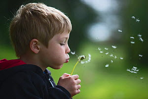 Young boy blowing a dandelion head (Taraxacum officinale) in a forest. Norfolk, UK, May. Model released  -  David Tipling