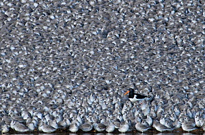 Oystercatcher (Haematopus ostralegus) among flock of roosting Knot (Calidris canutus). Snettisham RSPB Reserve, The Wash, Norfolk, February - David Tipling