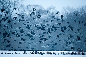 Rooks (Corvus frugilegus) gathering at roost in snowy woodlands. Buckenham, Norfolk,January - David Tipling
