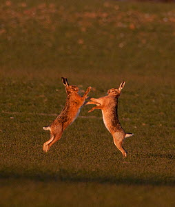 European brown hare (Lepus europaeus) boxing in spring. Norfolk, UK, March  -  David Tipling