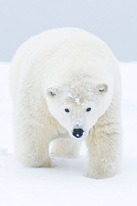 Polar bear (Ursus maritimus) portrait of curious young male, covered in snow from rolling around / playing. On a barrier island during autumn freeze up, Bernard Spit, 1002 area of the Arctic National...  -  Steven Kazlowski