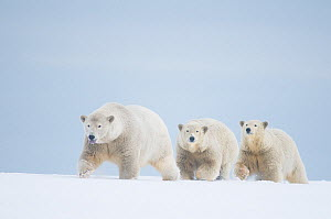 Polar bears (Ursus maritimus) female with cubs aged two years travelling along a barrier island during autumn freeze up, Bernard Spit, 1002 area of the Arctic National Wildlife Refuge, Alaska - Steven Kazlowski
