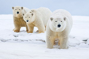 Polar bear (Ursus maritimus) female with cubs aged two years, along a barrier island during fall freeze up, Barter Island, 1002 area of the Arctic National Wildlife Refuge, Alaska  -  Steven Kazlowski