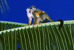 Central American / Red-backed squirrel monkey (Saimiri oerstedii) mother carrying baby on her back, Costa Rica, Vulnerable species  -  Kevin Schafer