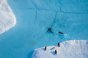 Aerial view of Ringed seals (Phoca hispida) on multi-layer ice (freshwater pans formed over many years where salt is squeezed out of the ice) with exit hole underneath ocean, Chukchi Sea, 20 miles off... - Steven Kazlowski